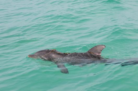 Wild dolphin entangled in fishing gear